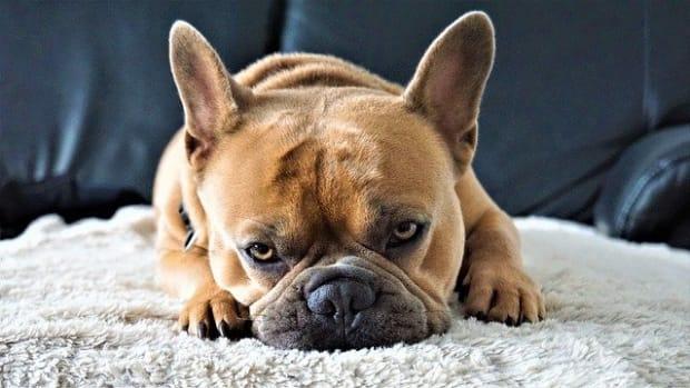 french-bulldog-4443329_640