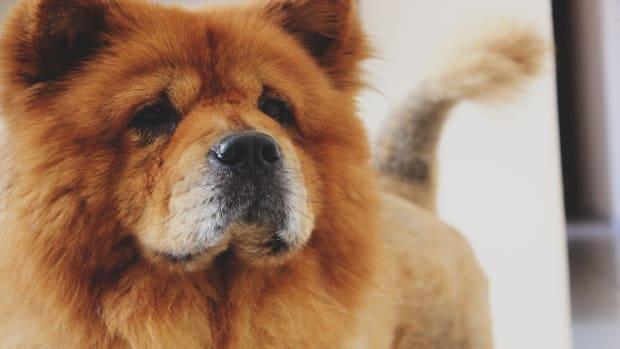 Why Do Dogs Look Like Bears