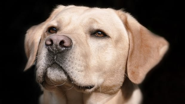 Why Do Dogs' Noses Change Color