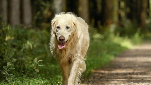golden-retriever-2701033_640