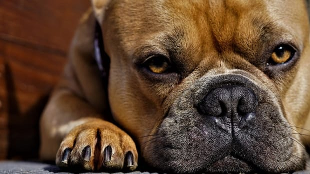 Swollen and Red Paws in Dogs
