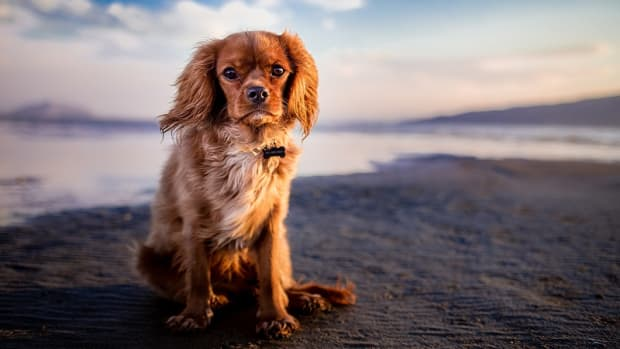 Low Albumin in Dogs