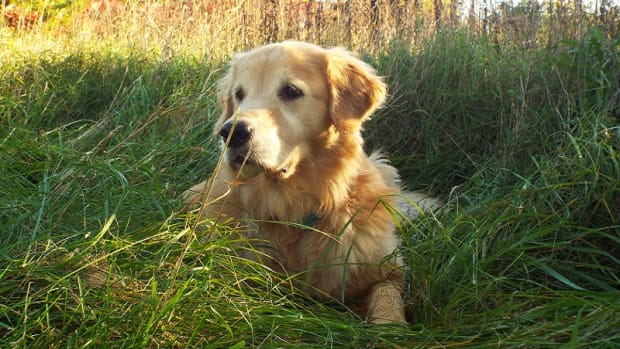 Why is My Dog's Urinary Tract Infection UTI Not Getting Better?
