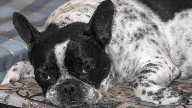 Hemivertebrae in Dogs