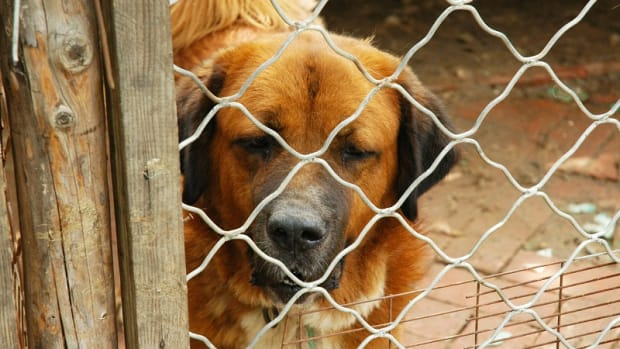 Stress-Induced Colitis in Dogs