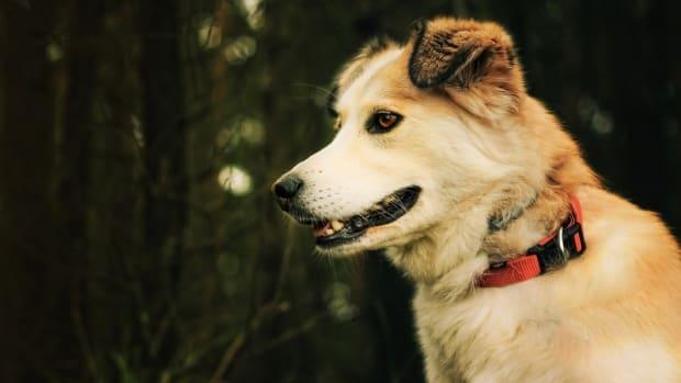 Dog Liver Biopsy Procedure