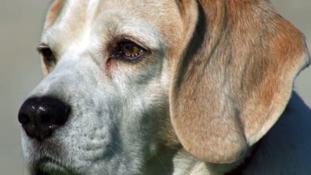 dog soft mouthed retriever