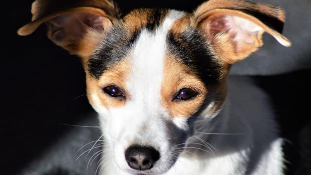 Dog Swollen Lymph Node: Biopsy or Fine Needle Aspiration?