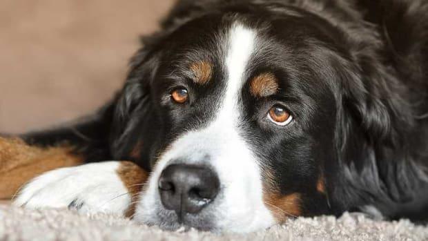 Dog Lipoma Surgery Cost