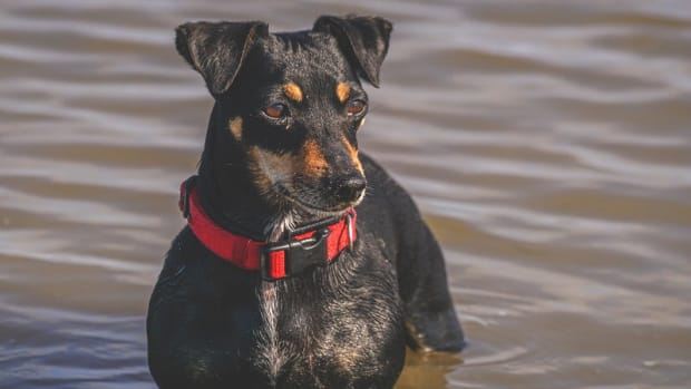 Limber Tail Syndrome in Dogs