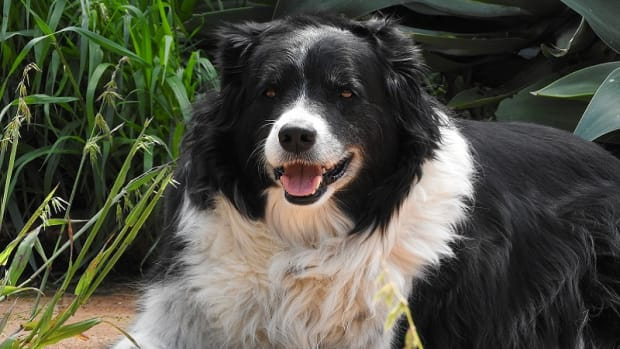 Side Effects of Gabapentin for Dogs