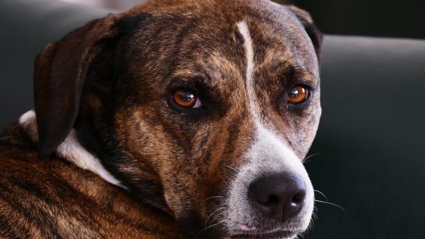 Spleen Enlargement in Dogs