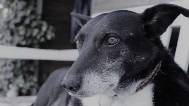 Spleen Cancer in Dogs