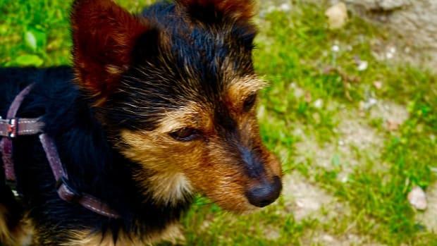 Dog Pyometra