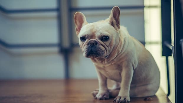 Skin Biopsy in Dogs