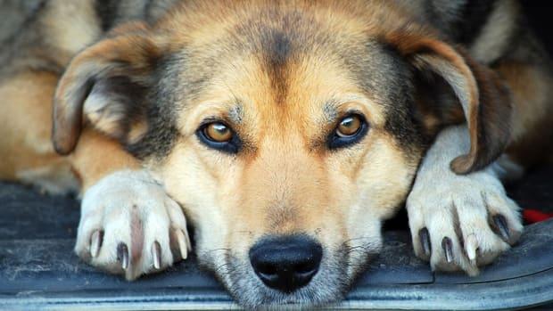 Dog Muscle Tear