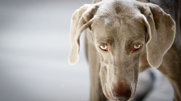 Enlarged Pupils in Dogs