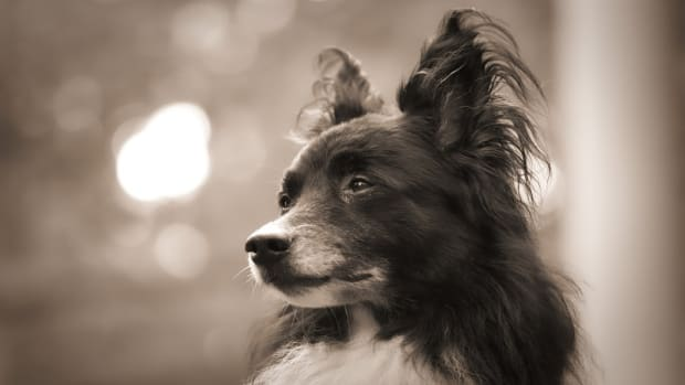 Dogs with Diabetic Ketoacidosis