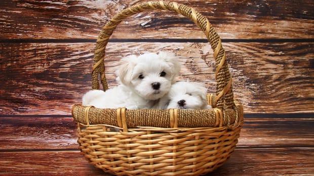 Puppy Parvo Facts