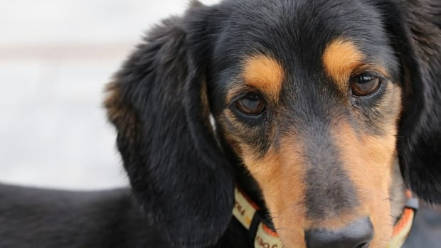 Cancer in Dogs