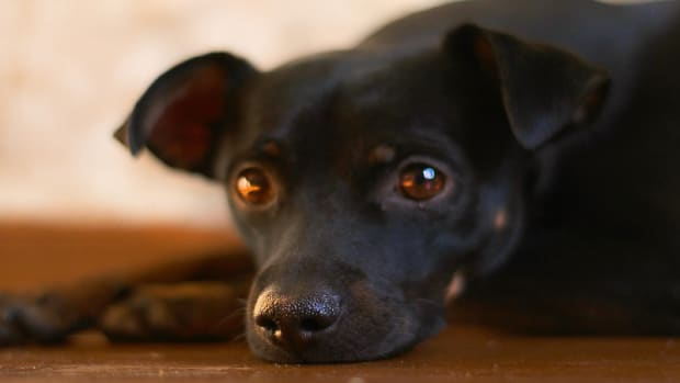 Kidney Infections in Dogs