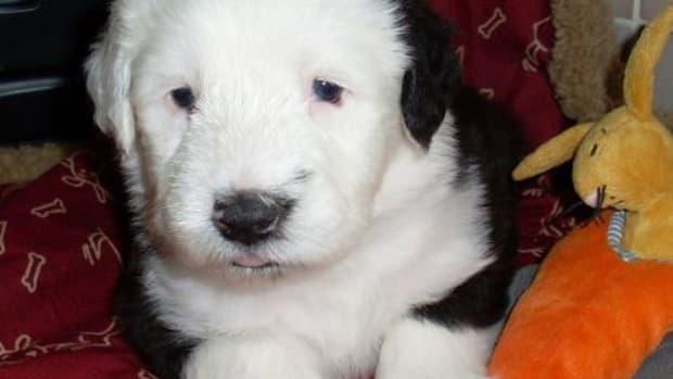 china eye dog