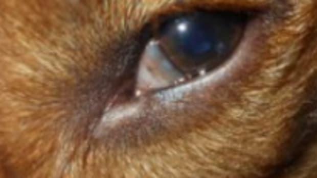 dog third eyelid