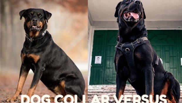 Dog Collar Versus Harness