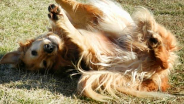 dog rolling