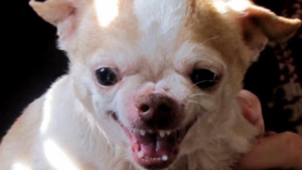 Green-eyed monster dog