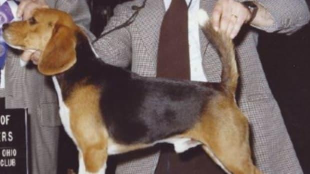 beagle tail