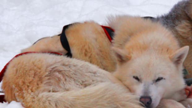 husky sleeping curled up