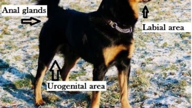 dog-pheromones