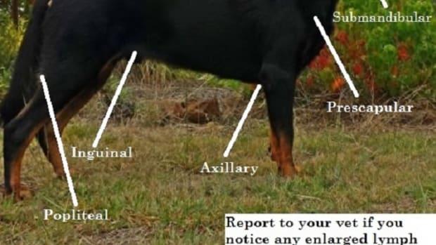 dog-lymp-node-location-chart