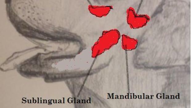 salivary-gland-in-dogs-anatomy