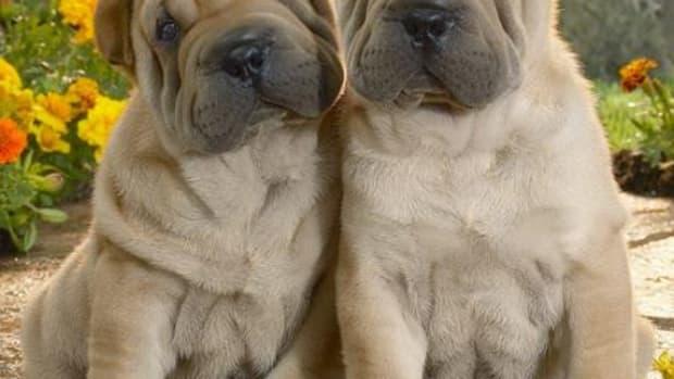 shar pei wrinkles
