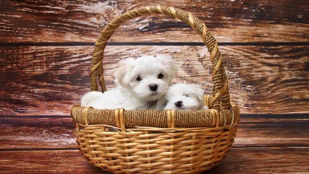 Maltese Puppy Development