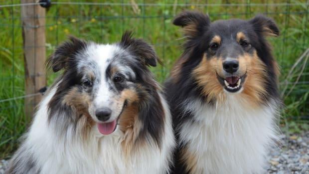 Dogs Tie When Breeding
