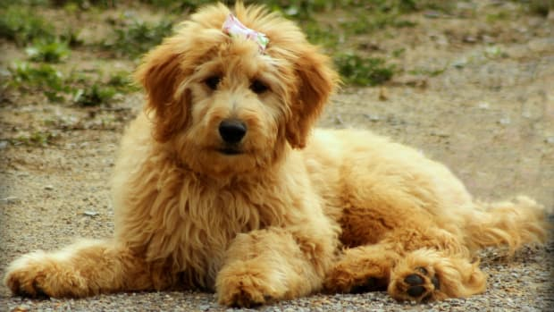 Different Types of Goldendoodle