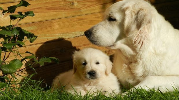 Vaccinate a Pregnant Dog