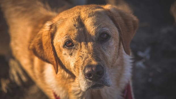 Laryngeal Paralysis in Dogs