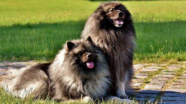 Dog Kennel Cough