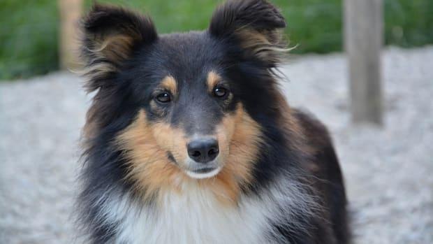 Dog Pyoderma