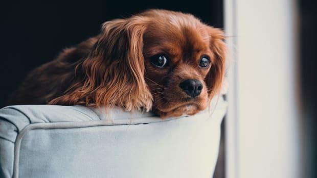 Dog Liver Problems