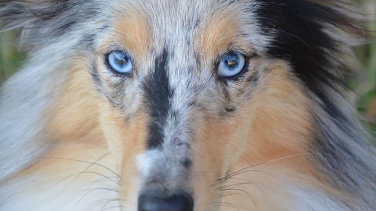 Eye Defects in Merle Dogs
