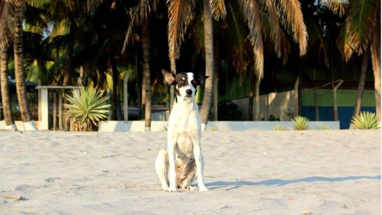 Help, My Dog Ate Sago Palm!