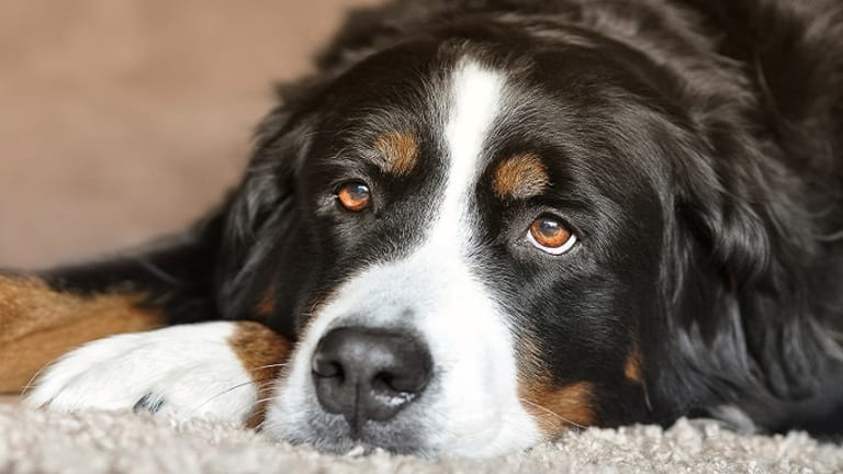 Why Do Dogs Lick Their Paws Excessively?