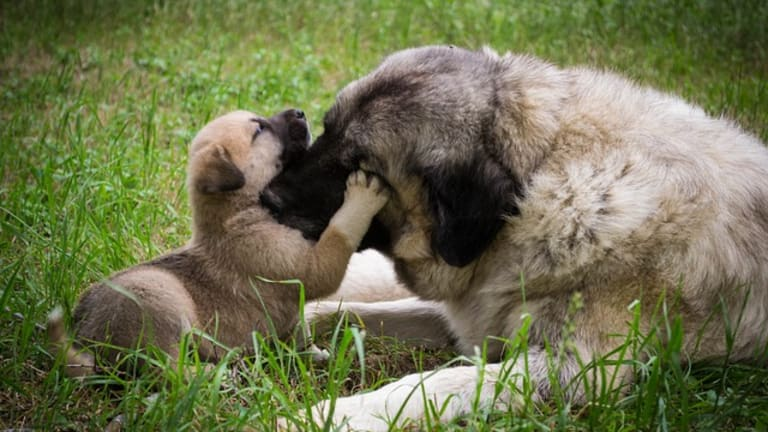 Why Does My Puppy Keep Biting My Older Dog?
