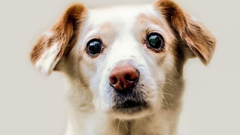 Ask The Vet: Why My Dog Has Glassy Eyes?