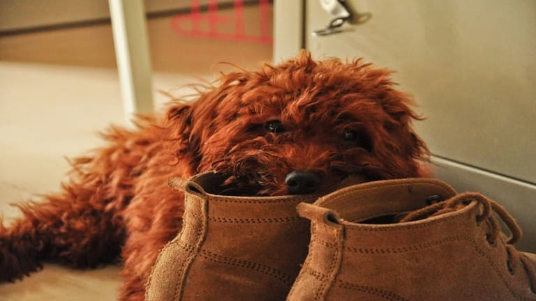 Ask the Dog Trainer: Why Do Dogs Chew on Shoes?